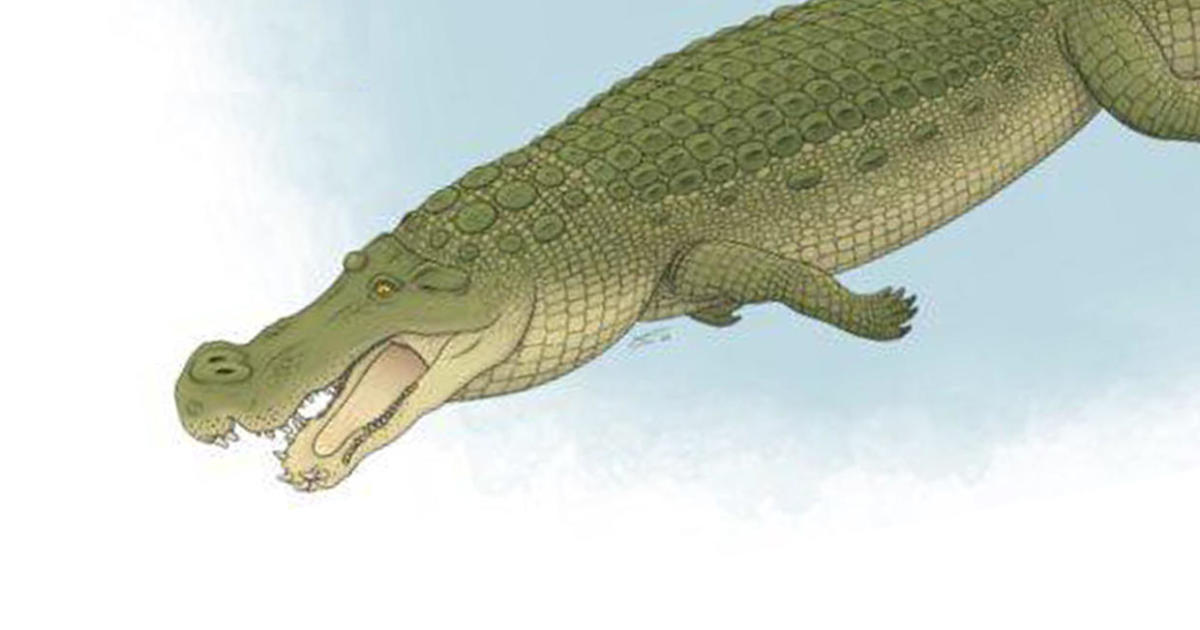 """Ancient """"terror crocodiles"""" used banana-sized teeth to eat everything in sight even dinosaurs – CBS News"""