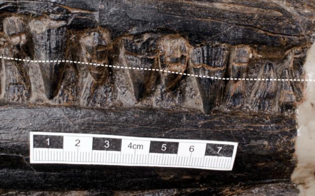 ichthyosaur dinosaur fossil teeth