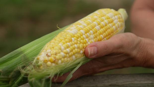 corn-a-620.jpg