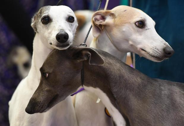 US-WESTMINSTER DOG SHOW-WHIPPETS