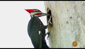 nature-woodpeckers1920-542382-640x360.jpg