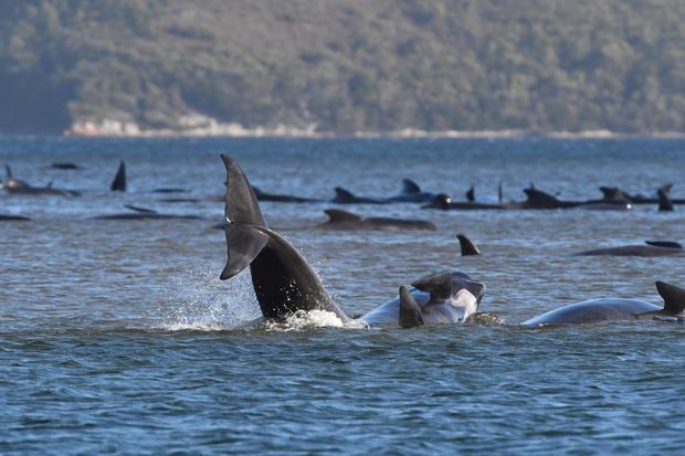 Whales are seen stranded on a sandbar near Strahan