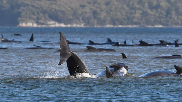 Whales are seen stranded on a sandbar near Strahan