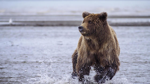 Coastal brown bear, or Grizzly Bear, chasing silver salmon, Cook Inlet, Alaska.