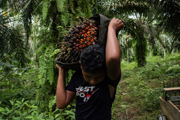 Indonesia: Harvesting Palm Oil in Aceh Province