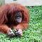 Orangutans At Medan Zoo