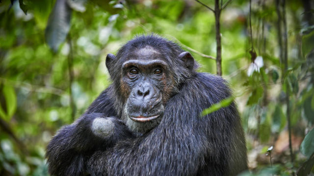Enchanting: Daily Life Of Chimps In Uganda's Kibale National Park