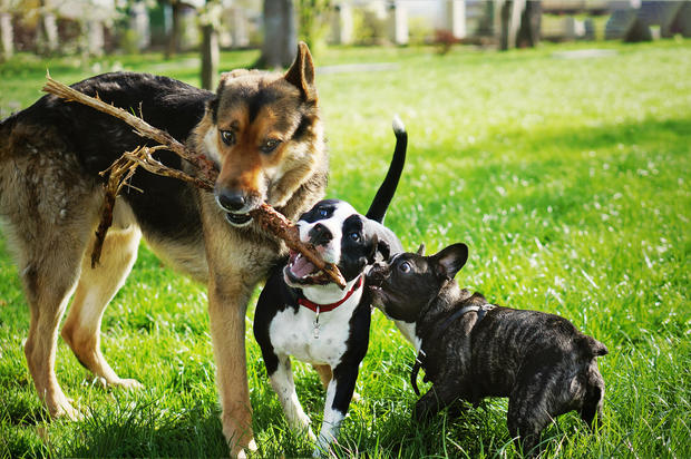 Three friendly happy playing dogs in summer park. German shepherd, american staffordshire terrier and french bulldog holding one stick. Different dog breeds have fun together.