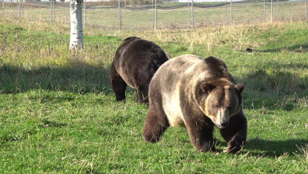 grizzly-bears-a-620.jpg