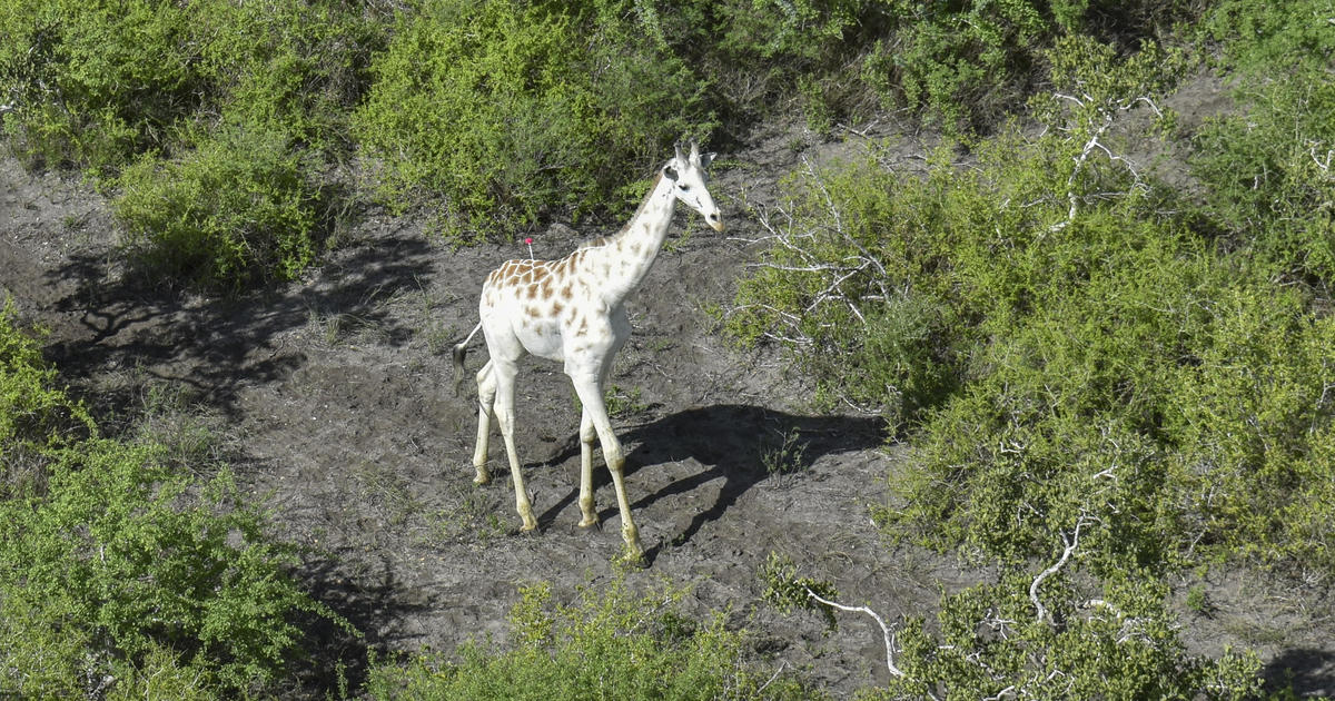 worlds-last-knownnbspwhite-giraffenbspgets-gps-tracking-device-after-poachers-kill-female-and-calf