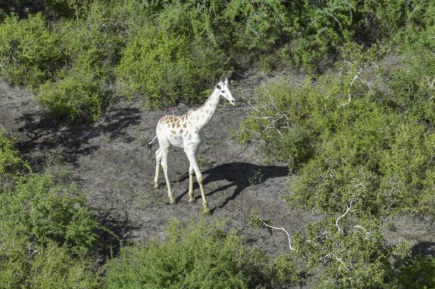 Kenya Last White Giraffe
