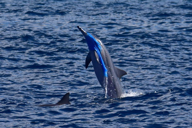 spinnerdolphinplastic-jackson-kowalski-pacific-whale-foundation.jpg