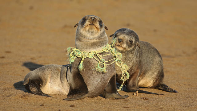 Seal Pup choking on Fishing line