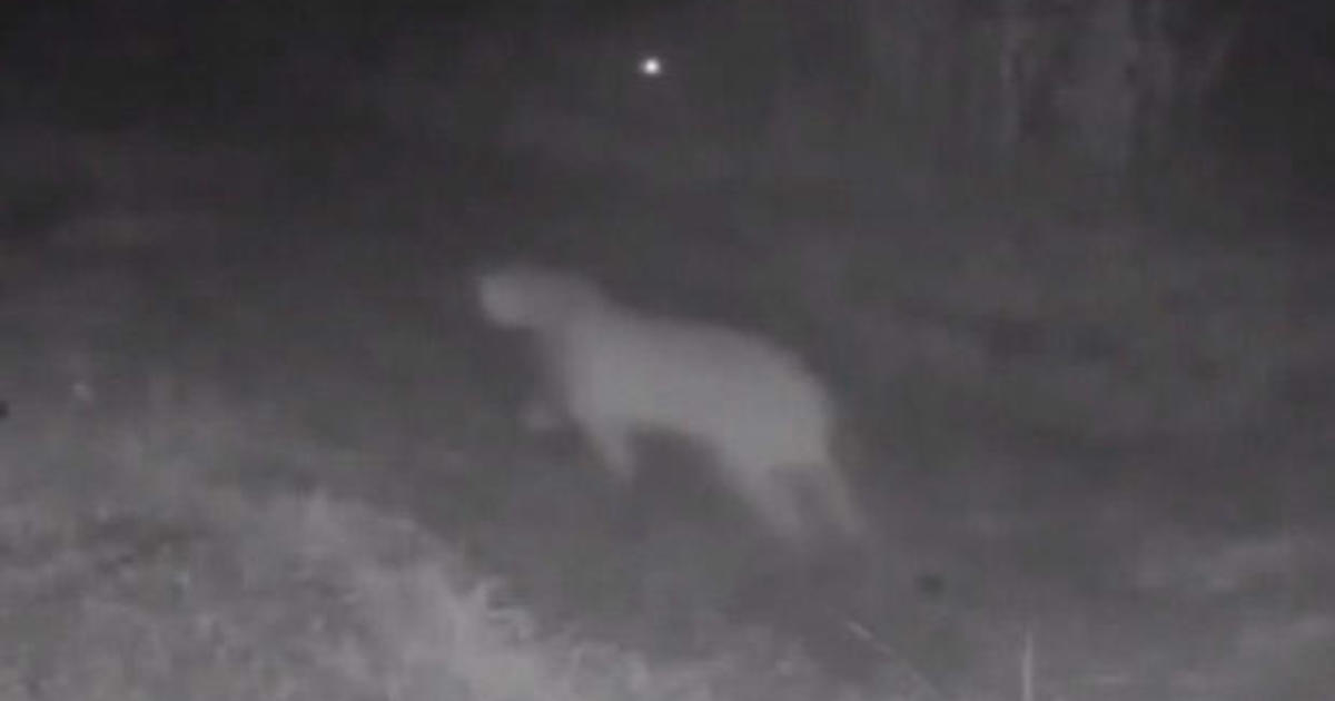 Video captures first documented mountain lion sighting in Dallas County