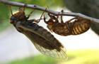 Brood X cicadas, seen in 2004.