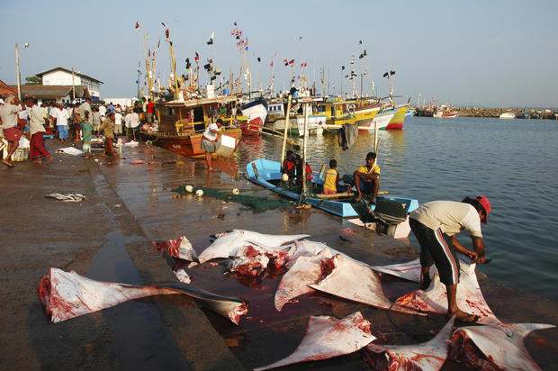 Sri-Lanka, Mirissa, fishermen gathering on colorful pier with dead sharks and ray