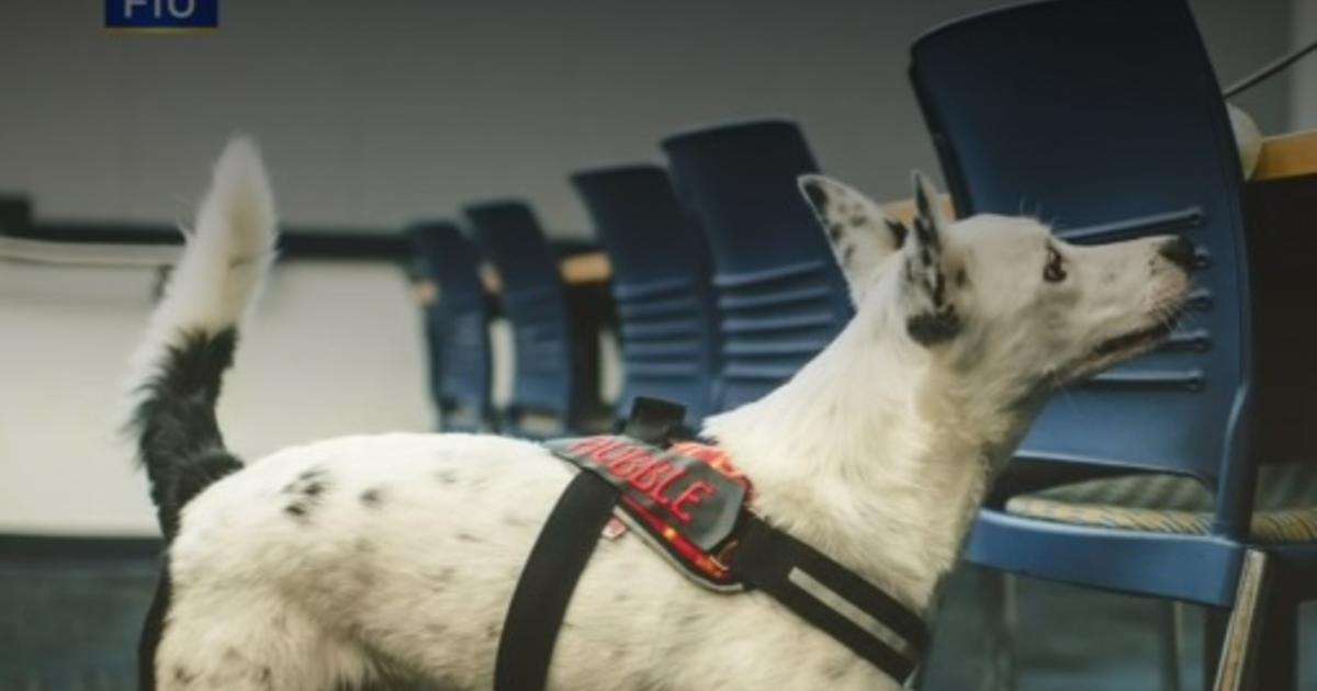 Florida university has trained dogs to detect COVID-19 - CBS News