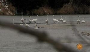 swans-646042-640x360.jpg