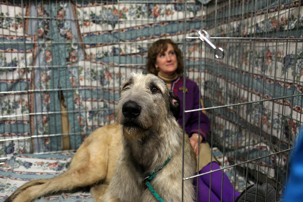 World's Top Canines Compete At Westminster Dog Show