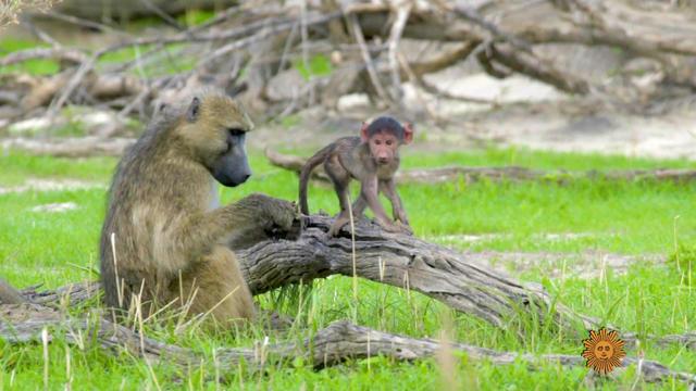 baboons1920-662365-640x360.jpg