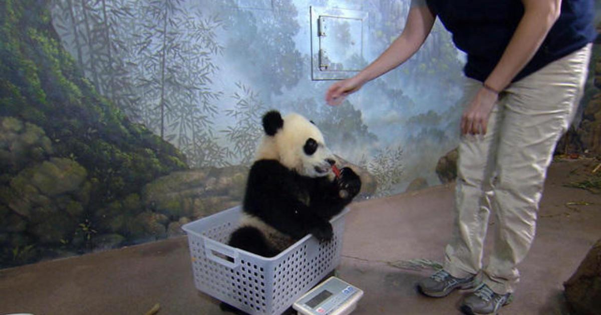Pandas in the spotlight
