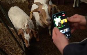 goats-zoom-call-733611-640x360.jpg