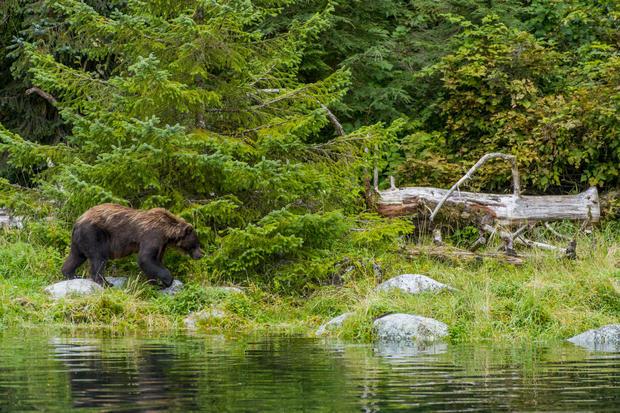 Brown bear (Ursus arctos) at a fish hatchery on Baranof