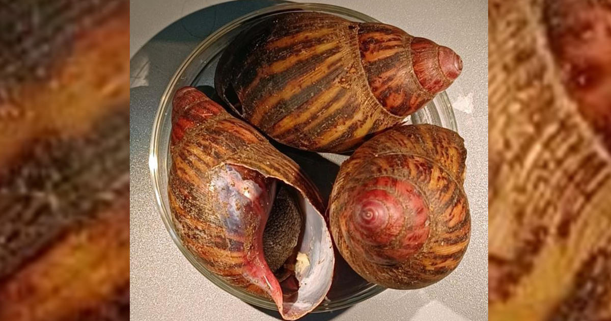 15 giant snails capable of causing rare forms of meningitis in humans seized at Houston airport