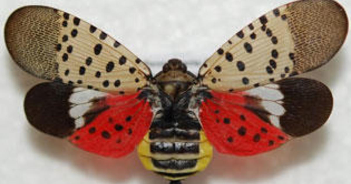 There's a beautiful spotted insect flying across the U.S. — and officials want you to kill it