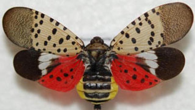 spotted-lanternfly-5524251.jpg