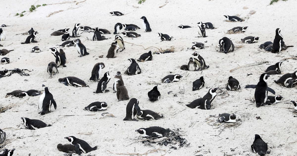 Swarm of bees kills dozens of endangered African penguins
