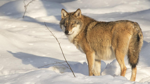 Solitary gray wolf - grey wolf showing thick winter coat in the snow in winter.